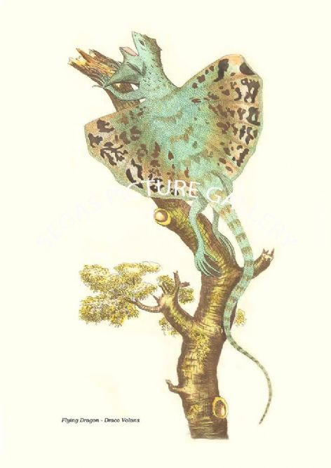 Fine art print of the Flying Dragon - Draco Volans by Frederick Polydore Nodder